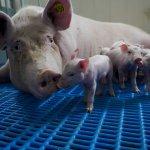 Aeres Farms 2020 - zeug met biggen