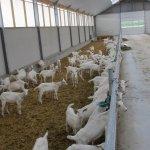 geiten stal inrichting