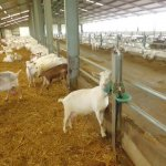staanders geitenstal inrichting suevia waterbak